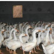 扬州大白鹅多少钱一只图片