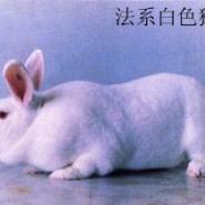 纯种法系獭兔种兔价格肉兔签回收图片