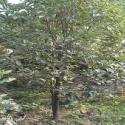 供应桂花树,5公分桂花树价格,5公分桂花树批发,5公分桂花树直销