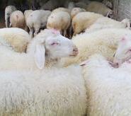 云南省波尔山羊哪里有图片