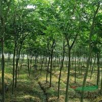 供应江苏3公分红榉树价格图片