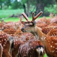 梅花鹿养殖网站图片