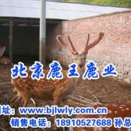 马鹿外形特征/马鹿的价格/马鹿肉图片