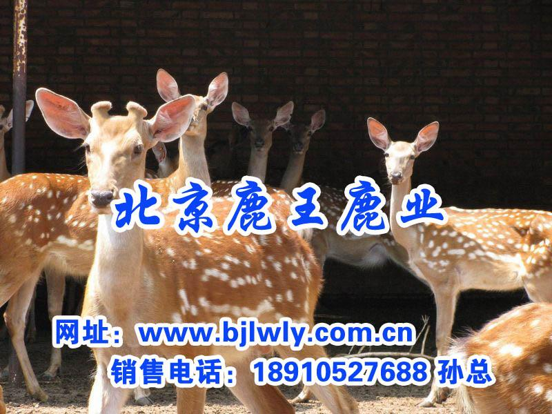 供应梅花鹿母鹿的饲养管理技术