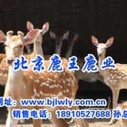 1205002梅花鹿养殖业前景图片