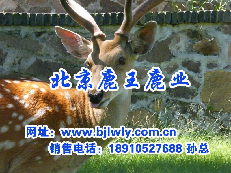 供应梅花鹿配种期间的饲养管理方法