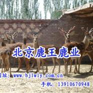 供应用于保健养生|绿色食品的梅花鹿养殖,北京梅花鹿价格