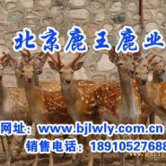 梅花鹿养殖场2011年陕西梅花鹿图片