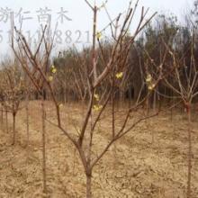 供应腊梅 江苏腊梅 腊梅种植销售 丛生腊梅批发