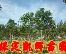 楸树市场,楸树基地,楸树主产区,楸树批发,提供楸树苗,批发