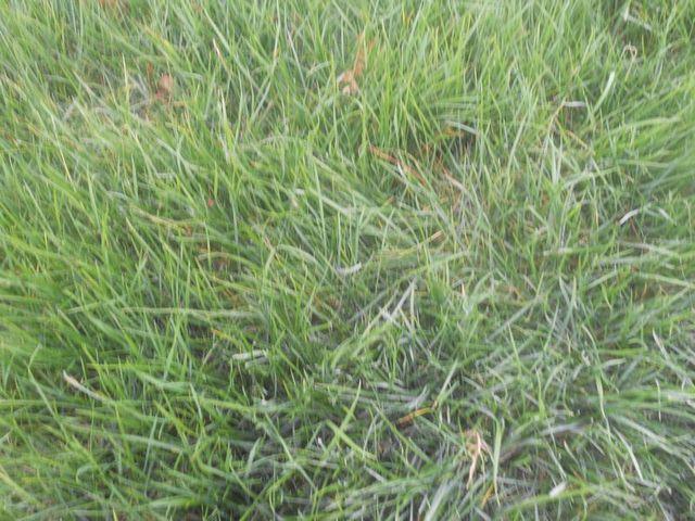 供应高羊茅草坪公司