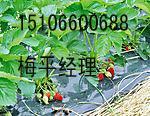 供应2011草莓展销会批发
