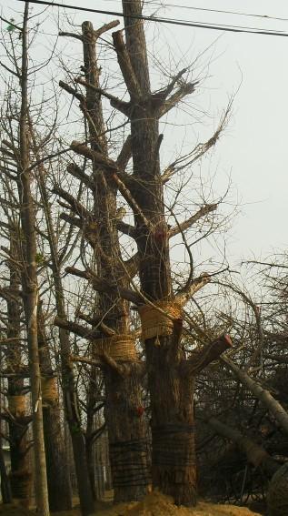 供应2011年11月银杏树价格