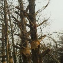 供应银杏树大树古树