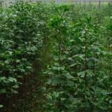 供应银杏小苗种植供应