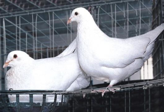 供应淄博肉鸽养殖场图片