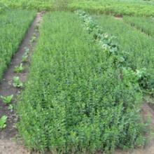 供应水蜡水蜡球水蜡金叶紫叶水蜡水腊种子种苗绿化用成品苗