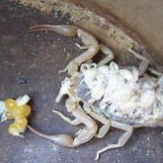 河北昆虫长期供应邯郸蝎子河北蝎子图片