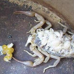 山东蝎子养殖散养场养殖的方法图片
