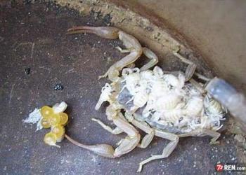 邯郸蝎子人工养殖前景远大图片
