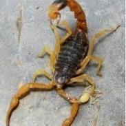 简单明了的养蝎四季歌图片