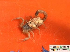 供应邯郸蝎子1元钱的蝎子的背后