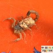 邯郸蝎子1元钱的蝎子的背后图片
