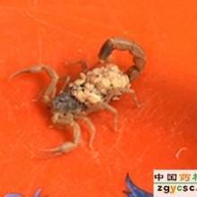 供应目前蝎子的养殖行情