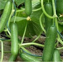 供应大棚黄瓜种子★水果黄瓜种子大棚黄瓜种子水果黄瓜种子