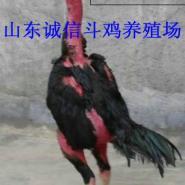 山东斗鸡养殖场供应斗鸡苗打斗型图片