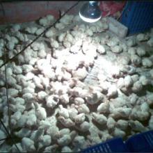 供应海南哪里有尼古拉火鸡苗卖海口市哪里有贝蒂纳火鸡苗供应批发批发