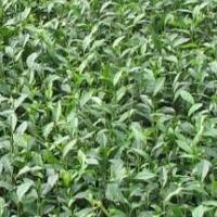供应用于茶苗种植的云南黑茶苗、临沧大叶种茶苗