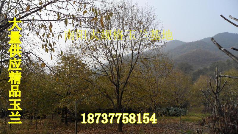 供应河南玉兰之乡供应大规格白红黄玉兰3公分到50公分树形精品大量供应