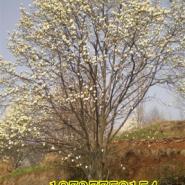 玉兰树3到60公分大量出售图片