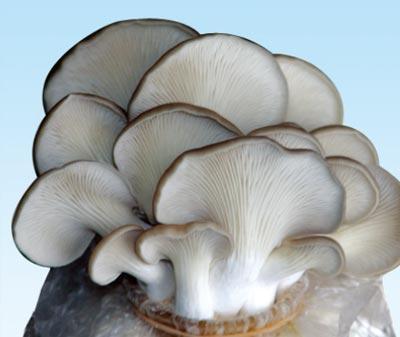 供应平菇高产——3一级菌种 试管母种 颗粒母种 原种栽培种