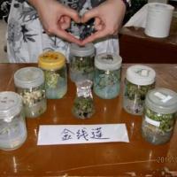 金线莲种苗培养瓶生产厂家价格信息
