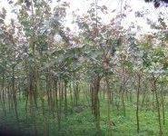 鸡冠刺桐袋苗12公分650株图片
