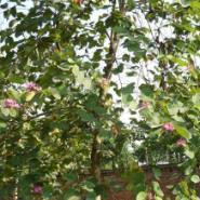 广西洋紫荆树苗批发价格图片