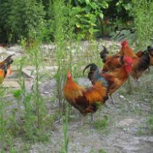 供應四川青腳土雞養殖,四川青腳紅羽土雞苗,價低物廉批發