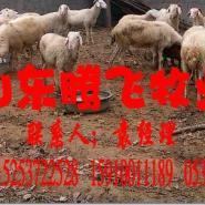 小尾寒羊哪的最便宜图片