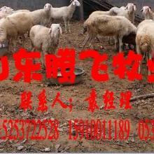 供应小尾寒羊哪的最便宜,波尔山羊,高产奶羊,价格低品种好,种羊供应商