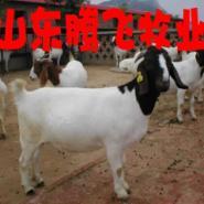 哪的波尔山羊品种好价格低图片