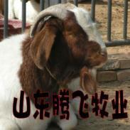 哪的波尔山羊价格低图片