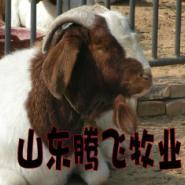 波尔山羊哪的价格最低品种最好图片