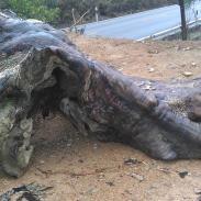 广西楠木树根价格图片