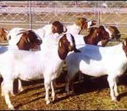 山东价格最低的牛羊波尔山羊鲁西黄图片