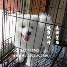纯种萨摩耶萨摩耶幼犬萨摩图片萨摩耶犬萨摩价格批发