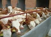 牛羊网山东博通牧业有限公司种牛羊、肉牛羊、改良牛羊、品种批发
