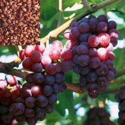 供應熱銷葡萄籽提取物OPC金銀花提取
