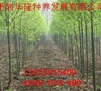 供应竹柳价格